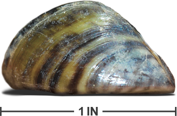 Zebra Mussel - Note Adult Size and Strips on Shell